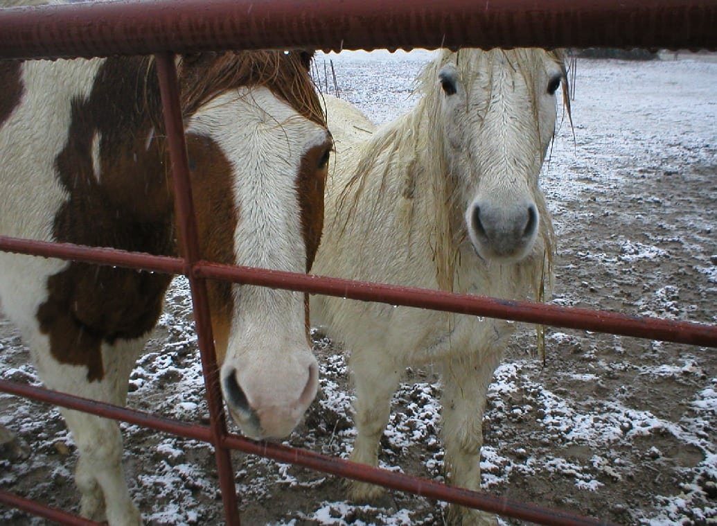two therapy horses in snow