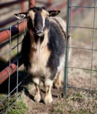 goat in pen in supported living activity program