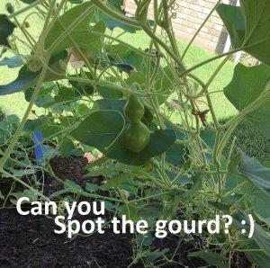 gourd in ranch veggie garden