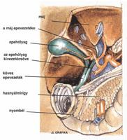 Epehólyag anatómiai képe