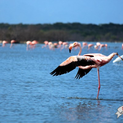 Flamencos rosados en Camarones, Guajira