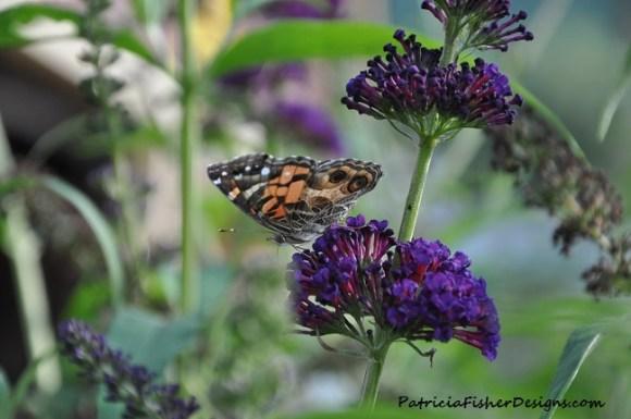 butterfly on a Black Knight Butterfly bush
