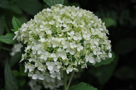 annabell hydrangea