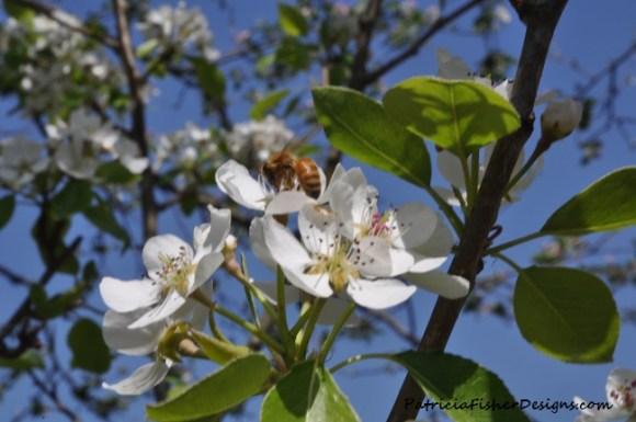 honeybee on an apple blossom