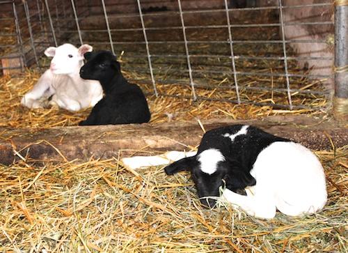 3 lambs 4-21