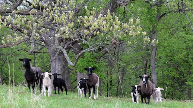 Lambs under Oak 5-14