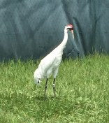 whooper female crane city