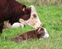 ps-clinic-cow-licks-calf
