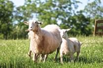 Hair ewe runs to camera 6-8-17