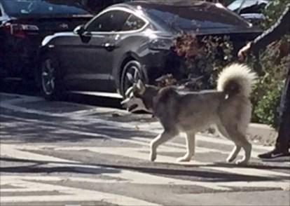 Husky NYC 2017