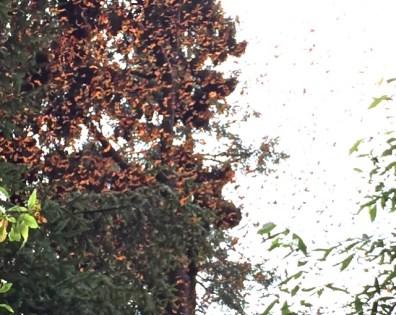 Monarchs Flying 1