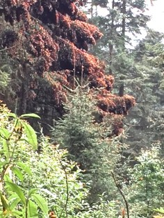 Monarchs on Tree 2018
