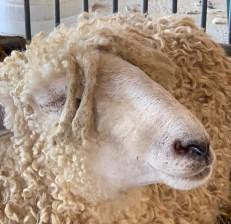 rasta sheep 2019