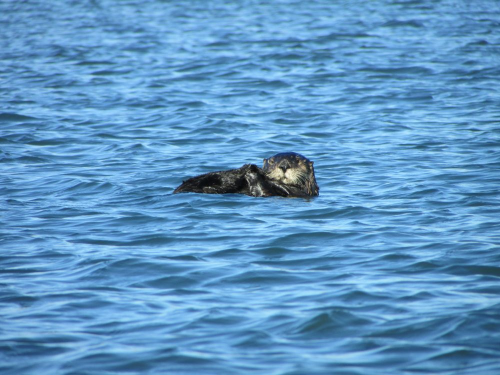 Saving sea otters:  Environmental heroes