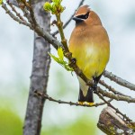 Cedar waxwing at Easter