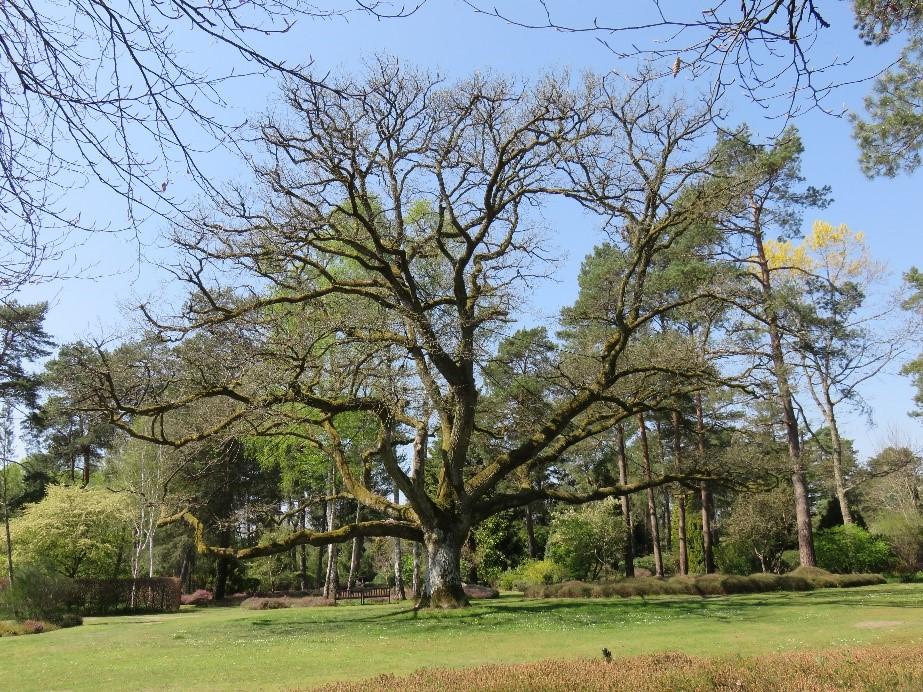 Le chêne de l'arboretum des grandes bruyères