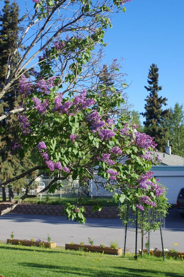 love having our lilacs.