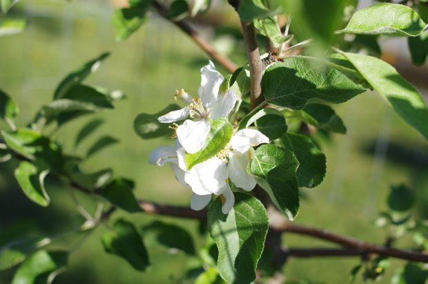 our apple tree has flowered for the first time since we put it in four years ago