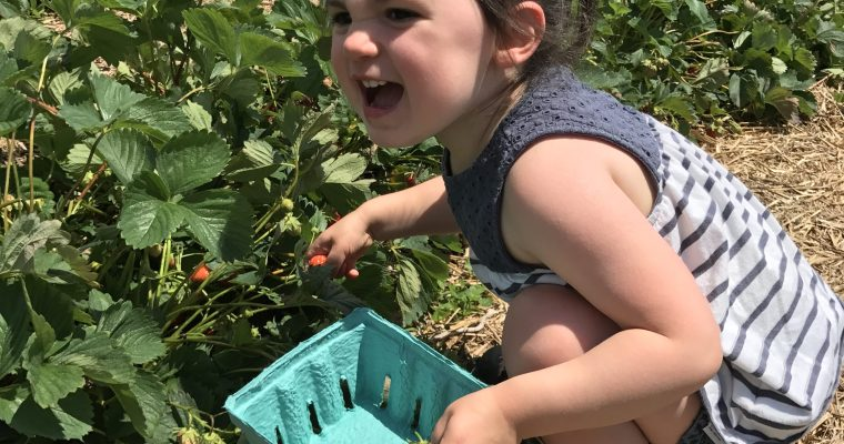 Strawberry Picking at Bowman Orchards