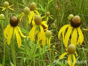 A roadside wildflower in Missouri