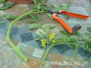 tomato stem