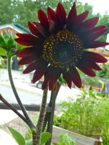 Chocolate Cherry Sunflower