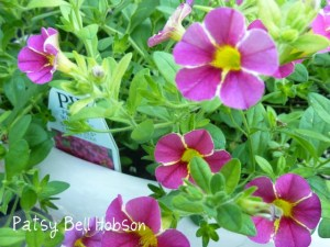 Superbells® Sweet Tart2 - Calibrachoa