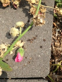 Pink holly hock seed