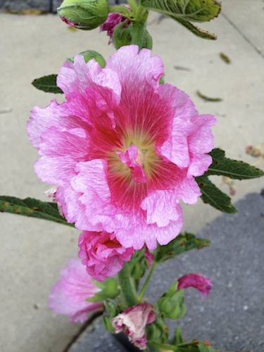 pink holly hock2