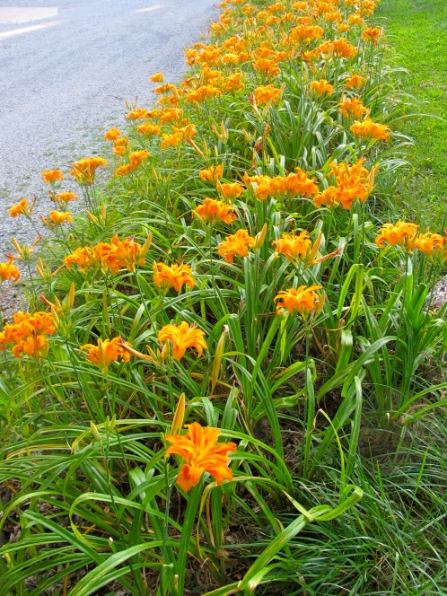 Daylilies planted on a hillside that is too steep to mow.