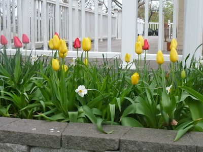 Colorful Darwin tulips are big and sturdy.