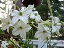 Aztec Nicotiana  Photo by Patsy Bell Hobson.
