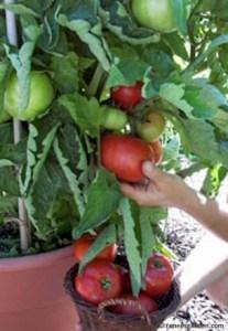 tomato-superbush3