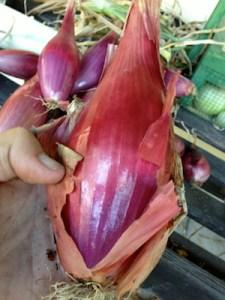 Torpedo shaped onions from Italy.