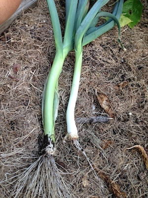 Leeks bring a suttle onion flavor to any dish.