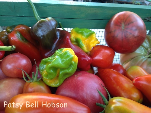 Paste tomatoes are ripe ripe every day. I'm freezing them whole to process later.