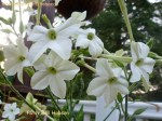 nicotianan alata tobacco sweet scented bloomer in the afternoon  and evening.