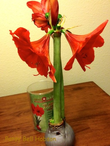 I found Waxt Bulb at Lowes. This one is has one more bloom, but it is about spent. Photo PBH