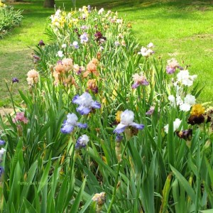 Selecting a variety may be the most difficult decisionwhengrowing Iris.