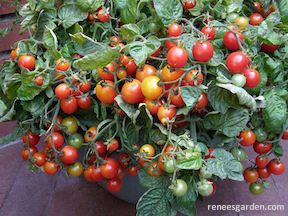 tomato-cherry_bites-02