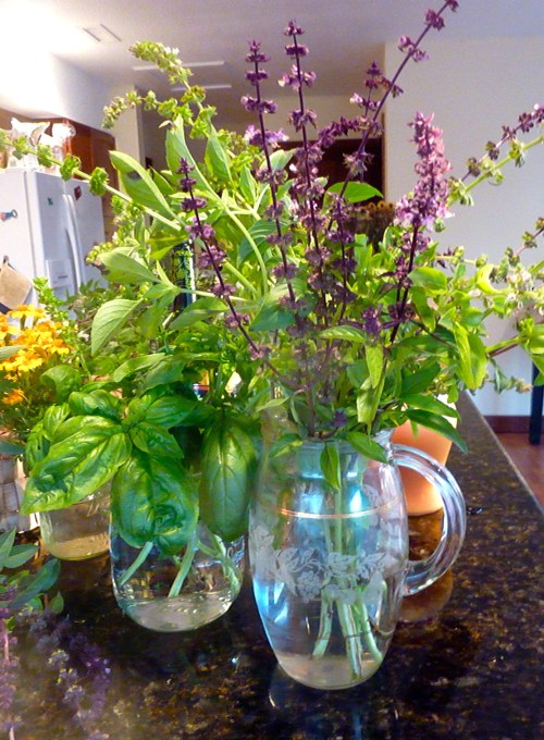 Several fresh cut basil brought indoors before the frost. herbs in jars