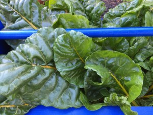 This basket full of chard will become my version of spinach lasagne. The seed was from Renee's Garden.