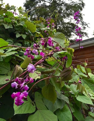 Purple Hyacinth Bean Flowering Vine Seeds