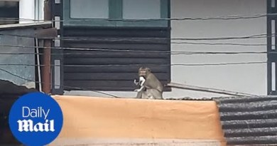 Monkey kidnaps kitten and keeps it hostage on roof in Thailand