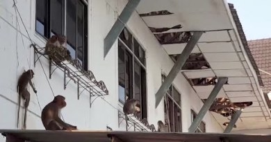 Starving monkeys purchase over authorities building in Thailand