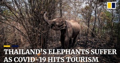 Hungry and out of jobs: Thailand's elephants undergo as Covid-19 outbreak hits tourism