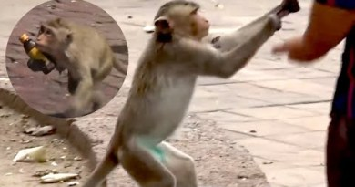 Hungry Monkeys Are Stealing Food From Individuals In Thailand