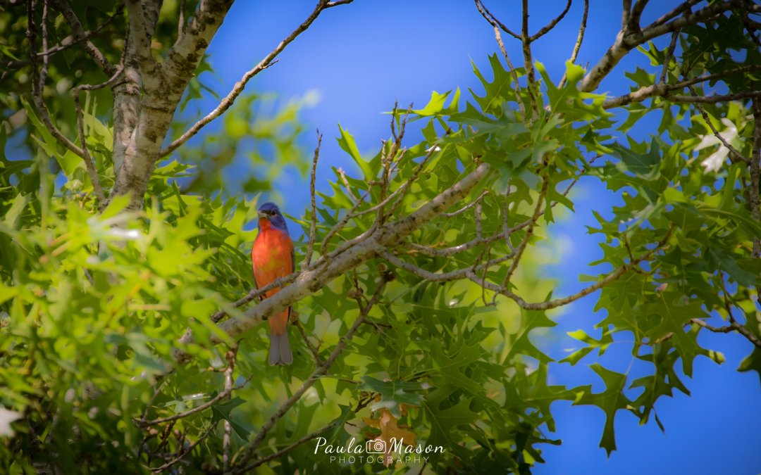 The Painted Bunting…He Does Exist!