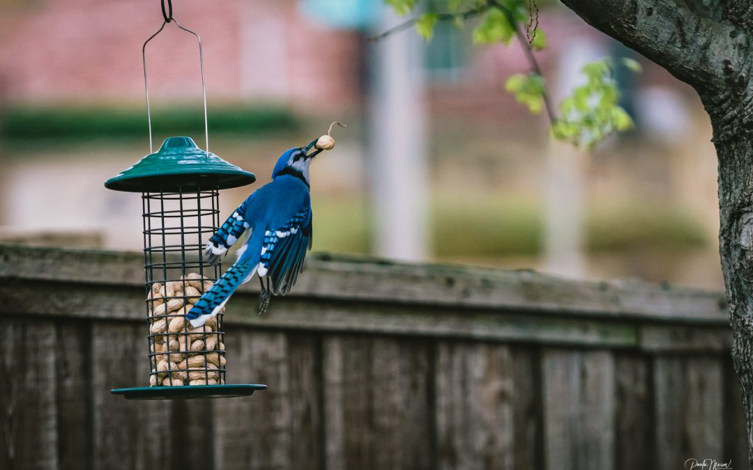 Never Enough Peanuts for These Beautiful Blue Jays…