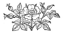 Black_and_White_Rose_Drawing